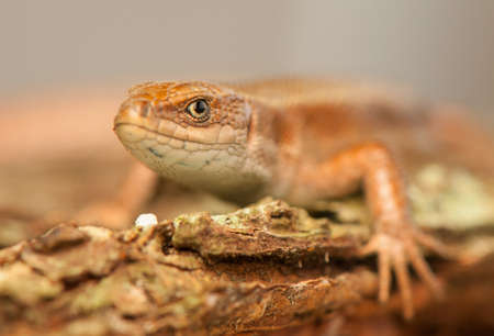 animal viviparous: Zootoca vivipara Stock Photo