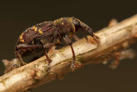 Hylobius abietis Stock Photo