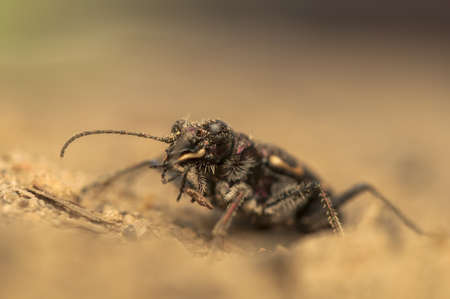 Cicindela hybrida Stock Photo - 19455326