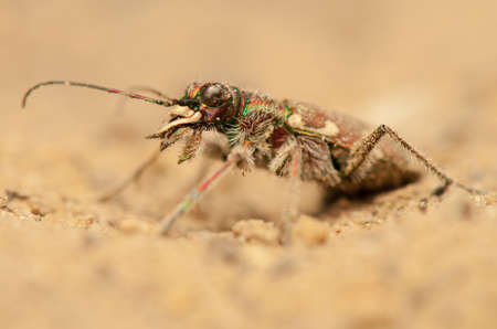 Cicindela hybrida Stock Photo - 19455309