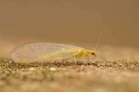 chrysoperla: Chrysopidae Stock Photo