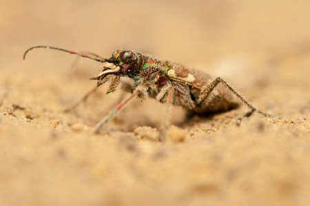 cicindela: Cicindela hybrida Stock Photo