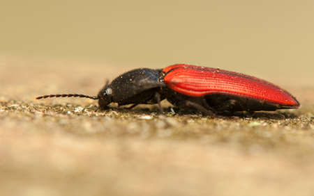 click beetle: Elater sanguineus Stock Photo