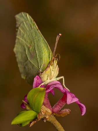 gonepteryx: Gonepteryx rhamni Stock Photo