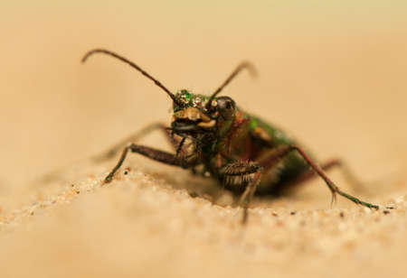 cicindela: Cicindela campestris Stock Photo