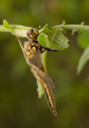 libellula: Libellula quadrimaculata Stock Photo