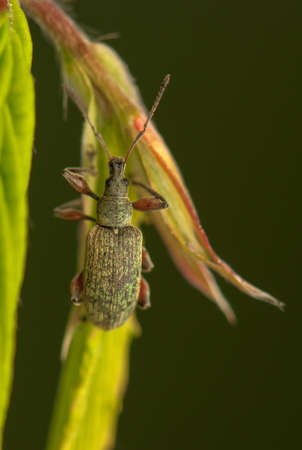 Phyllobius photo