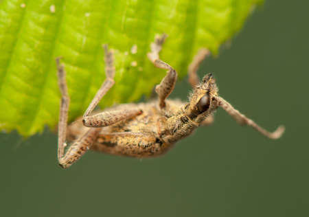 Rhagium inquisitor photo