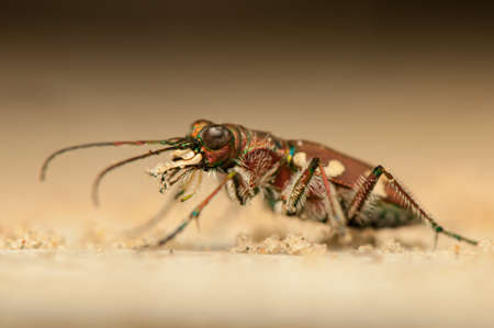 Cicindela hybrida Stock Photo - 19567228