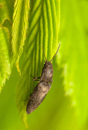 click beetle: Lacon murinus Stock Photo
