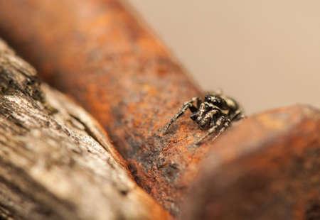 arachnoid: Jumping ragno Archivio Fotografico