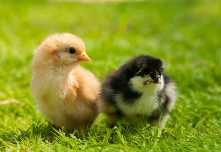 Chicken Stock Photo - 19649411
