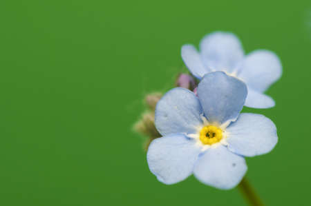Myosotis photo