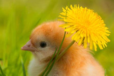 Chicken Stock Photo - 19649387