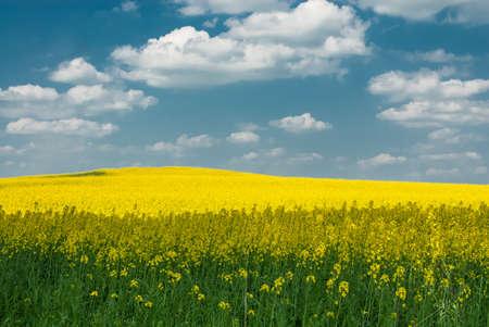 brassica: Brassica napus Stock Photo