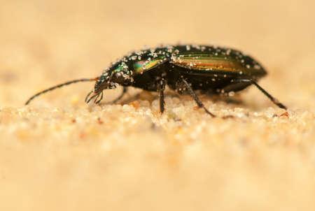 carabidae: Poecilus versicolor