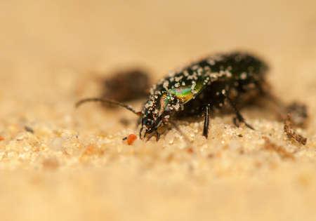 Poecilus cupreus photo