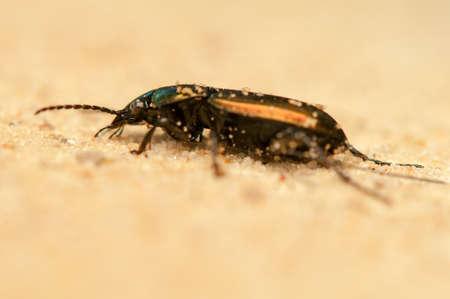 carabidae: Poecilus lepidus