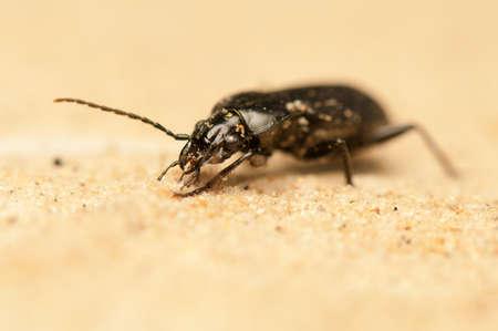 niger: Pterostichus niger Stock Photo