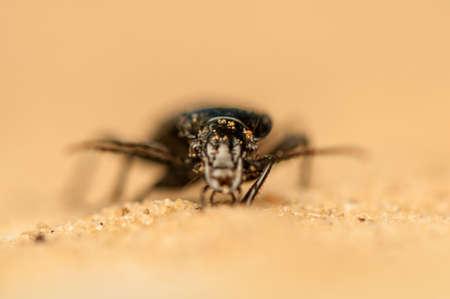 Pterostichus niger photo