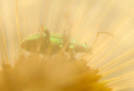 phyllobius: Dandelion