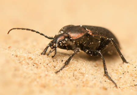 Carabus arcensis Stock Photo - 19847994