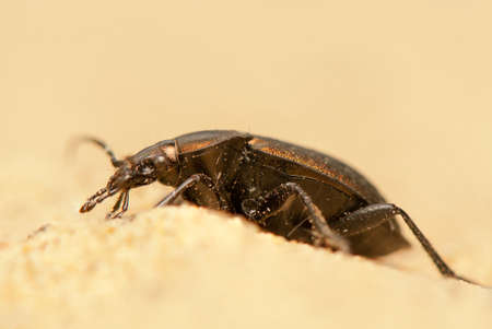 Carabus arcensis Stock Photo - 19847995