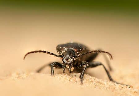 carabidae: Carabus arcensis