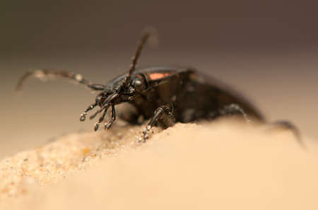 carabus: Carabus arcensis