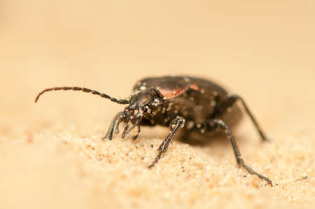 Carabus arcensis Stock Photo - 19848060