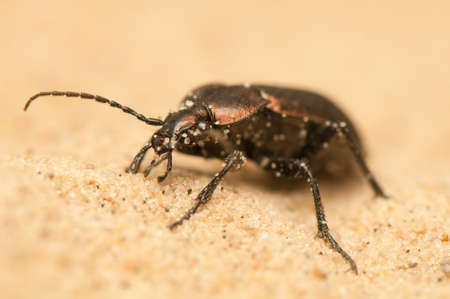 Carabus arcensis Stock Photo - 19847985