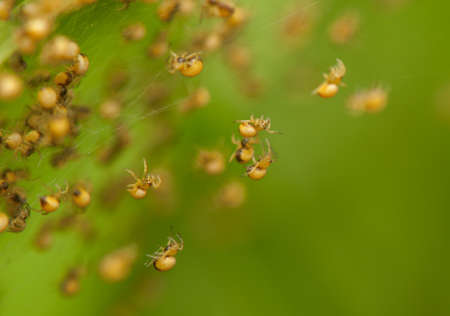 nursery web spider: Small spiders