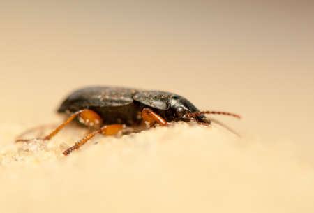 Anisodactylus binotatus Stock Photo - 20013385