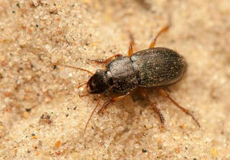 Anisodactylus binotatus Stock Photo - 20013447