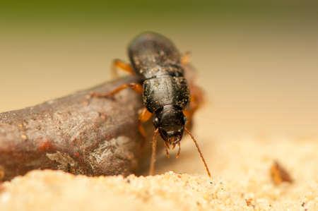 Anisodactylus binotatus Stock Photo