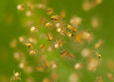 araneidae: Small spiders