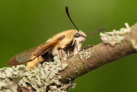 sphingidae: Hemaris Tityus