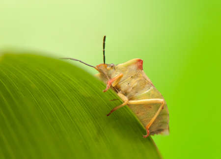 Carpocoris fuscispinus Stock Photo - 20073054