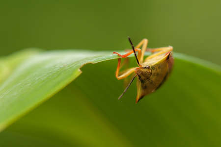 Carpocoris fuscispinus photo