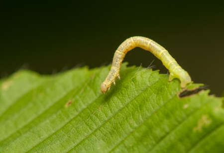 Geometer larva photo