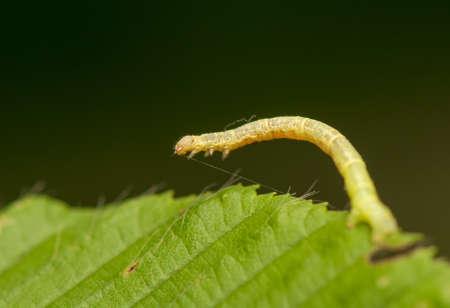 Geometer larva Stock Photo - 20073134