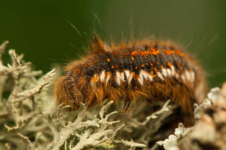 Euthrix potatoria Stock Photo - 20111222