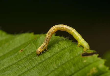 Geometer larva Stock Photo - 20111186