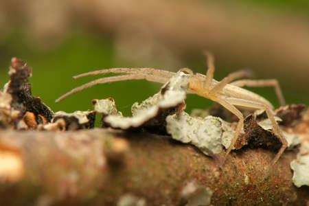 pisauridae: Tibellus oblongus