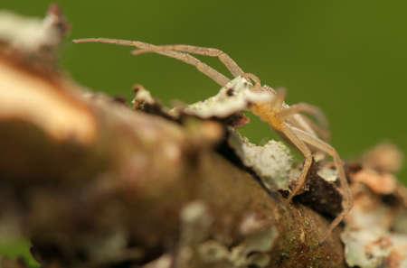 heteropodidae: Tibellus oblongus