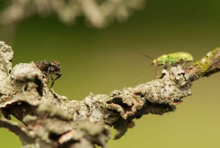 phyllobius: Jumping spider and Phyllobius