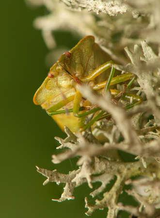 pentatomidae: Palomena prasina Stock Photo