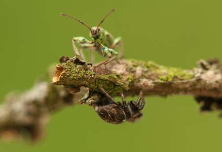phyllobius: Phyllobius and jumping spider