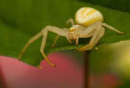 goldenrod crab spider: Misumena vatia