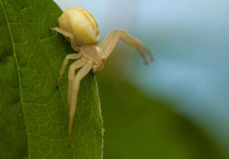 goldenrod spider: Misumena vatia